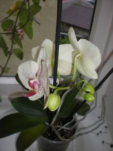 Orkidé med knopper